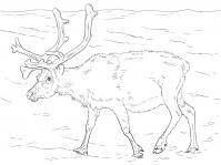 Северный олень гуляет по просторам арктики Зимние раскраски для малышей