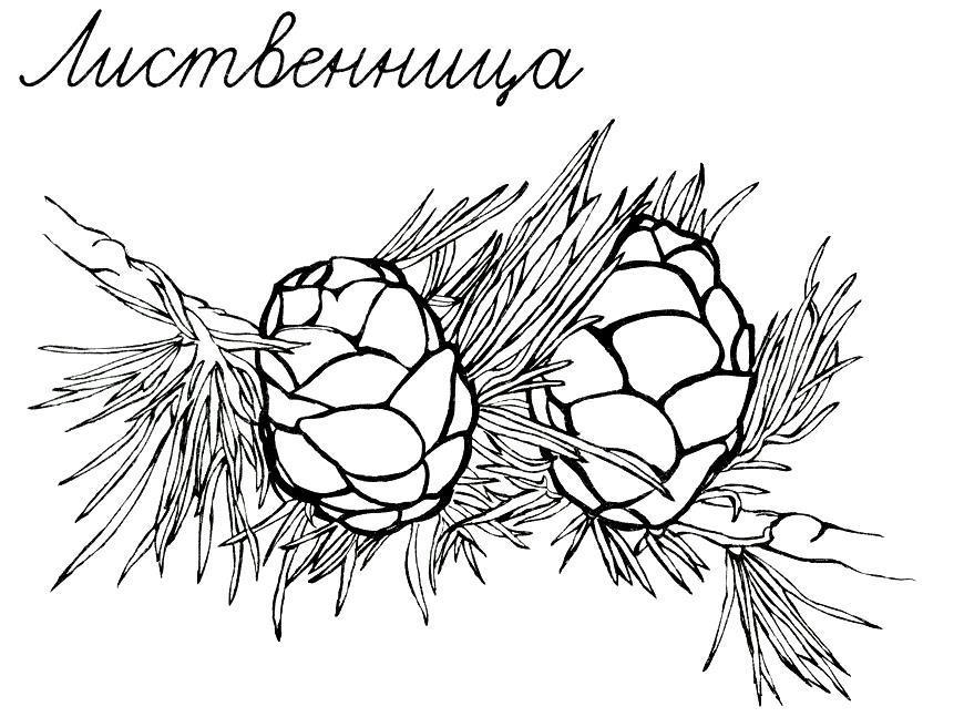 Шишки лиственницы Зимние раскраски для девочек