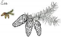 Шишки Детские раскраски зима распечатать