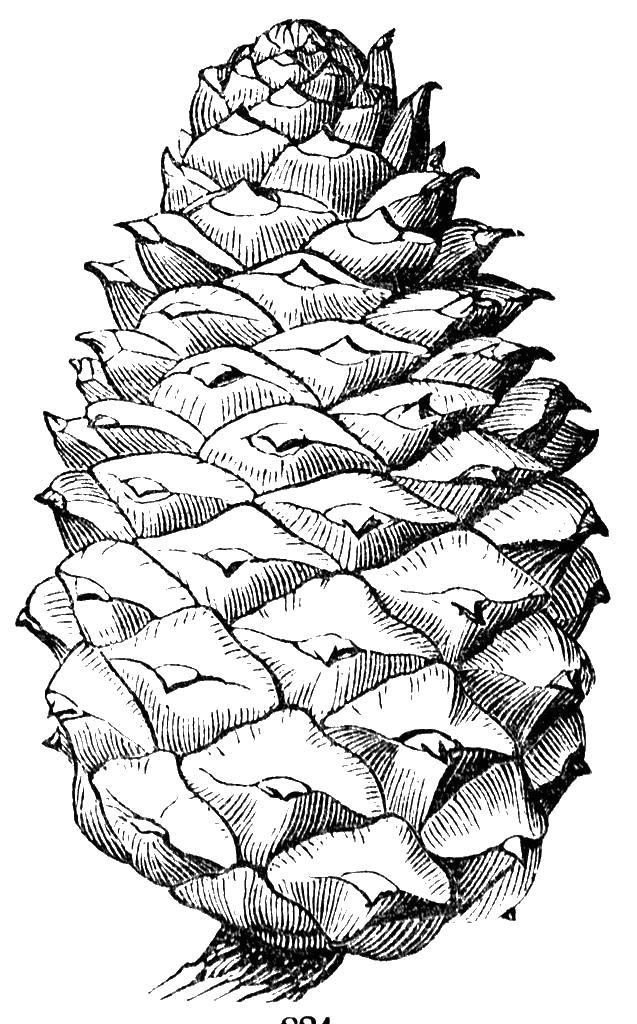 Большая кедровая шишка Раскраска сказочная зима