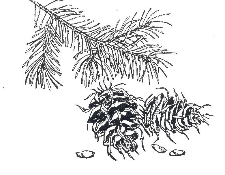 Шишки кедра с семечками Зимние раскраски для девочек