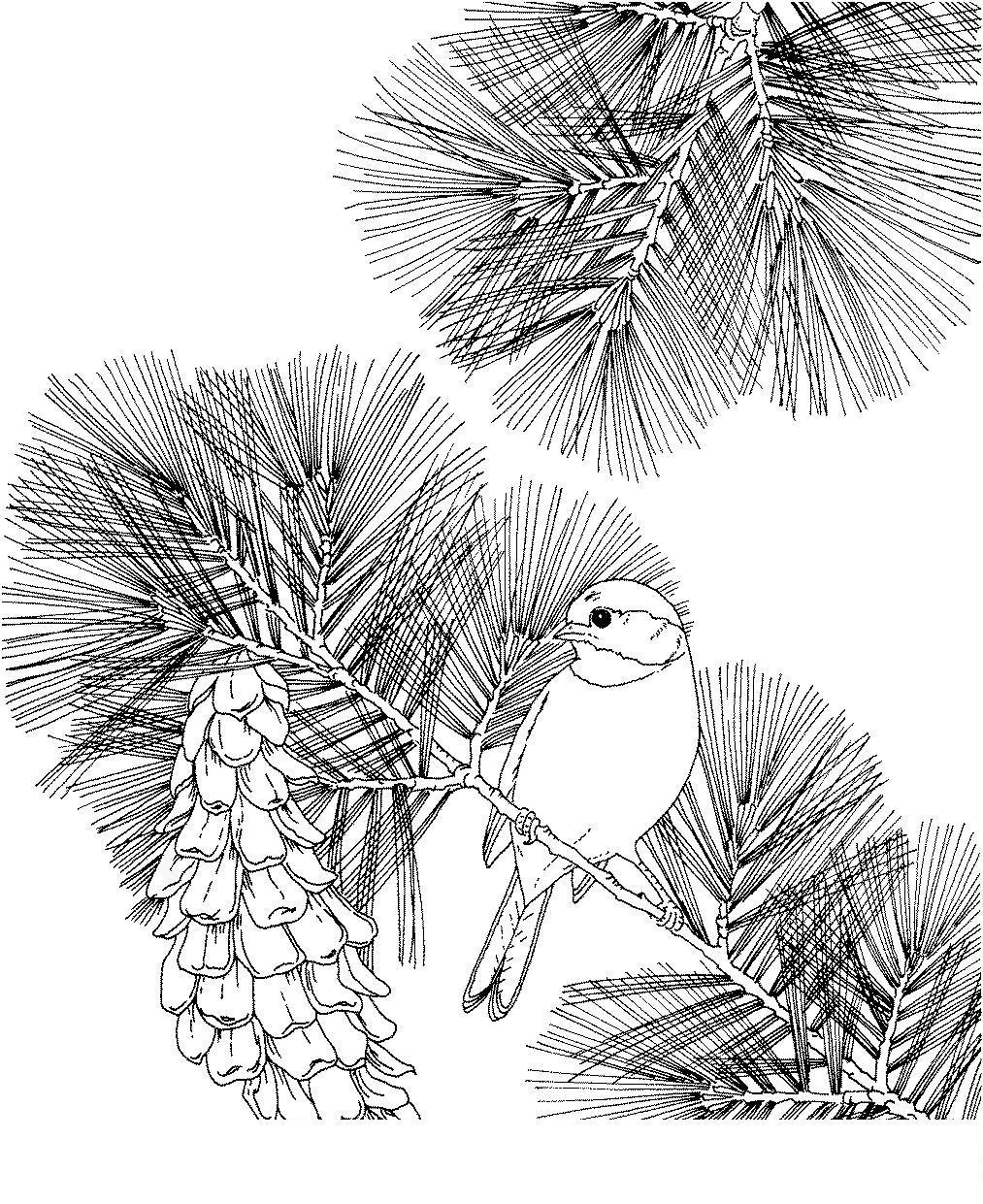 Птица на еловой ветке с шишкой Детские раскраски зима распечатать