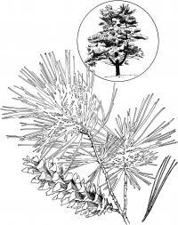 Ветка с шишкой и дерево Зимние раскраски для девочек